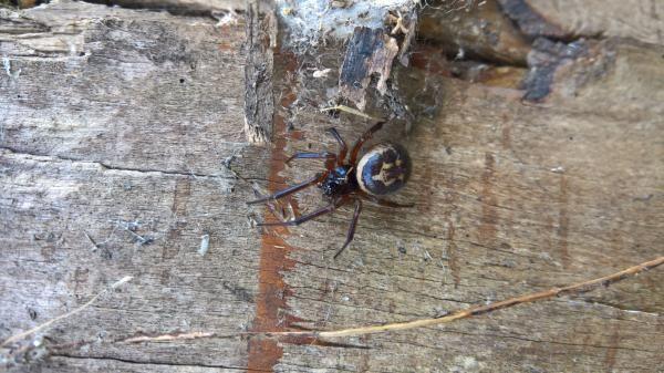 Există Spiders veninos în Marea Britanie?