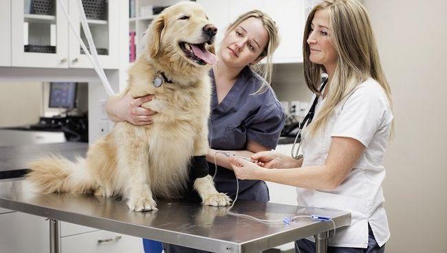Veterinarian atașarea unui picurare IV la un retriever de aur la o clinică veterinară