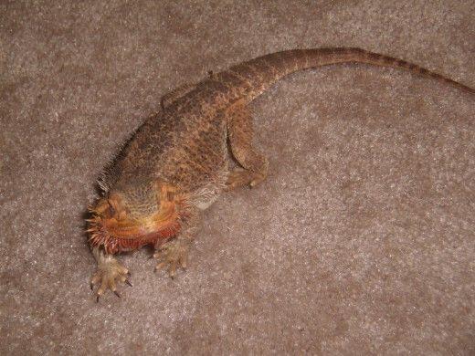 My dragon bărbos personale.