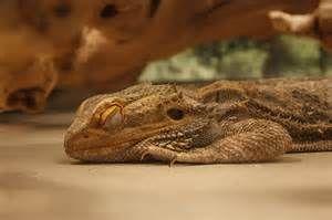 Să dragoni dormit mint.