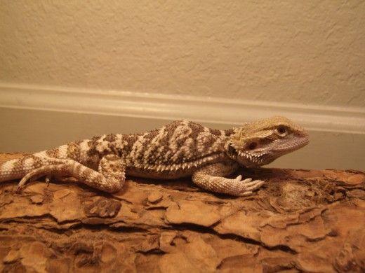Pat dragon care a rupt spatele lui și a fost paralizat de la brâu în jos.