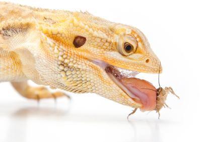 Dieta dragon bărbos