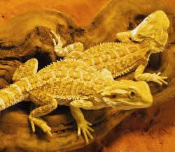 Bărbos Dragon morphs, forma de culoare produsă prin încrucișarea unui dragon Sandfire Bărbos cu un dragon bărbos german