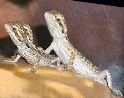 Imagine a copilului Bărbos Dragoni (culoare normală)