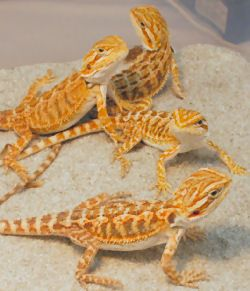 Imagine a copilului Bărbos Dragons (Morph culoare: - rosu-auriu x Sandfire)