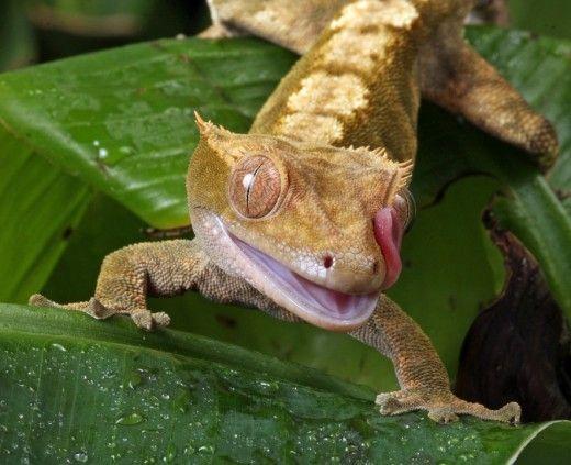 Gecko crestate sunt populare reptile pentru animale de companie.