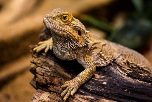 dragoni Bearded sunt cele mai mari, și una dintre cele mai simple, soparle pentru animale de companie.