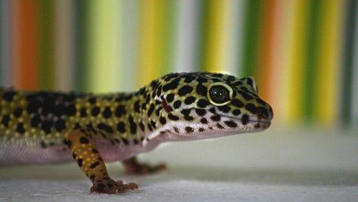 Un leopard gecko sănătos are o coadă dolofan. Acest lucru este în cazul în care acestea păstrează grăsime în plus ca o rezervă de energie.