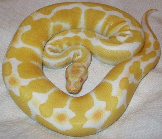 piton albinos mingii