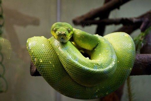 Pitonul copac verde este o specie frumoasă, dar agresivă și ar trebui să fie păstrate numai de către deținătorii de reptile cu experiență.