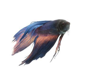 Bolile peștilor Betta