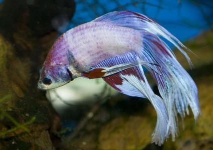 Rezervoarele de pește Betta