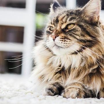 Perii pentru pisici cu par lung