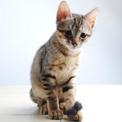 Perii pentru pisici cu par scurt