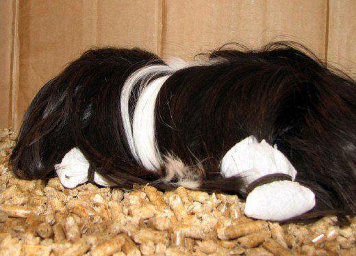 Multi proprietari folosesc împachetări de păr între spectacole pentru a păstra un porc de guineea peruvian