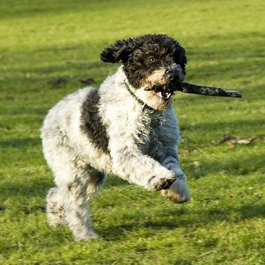 Grija pentru blana unui câine de apă spaniol