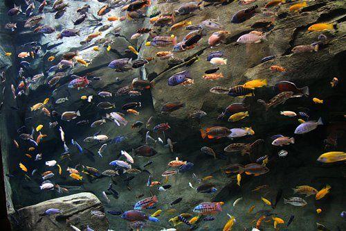 Pește Cichlid: Top 15 lucruri pe care trebuie să le știi