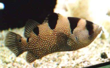 Imagine a unui clovn sau Grouper Grouper Bărbos