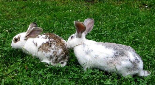 Una dintre cele mai comune cauze de moarte subita de iepure este că iepurele a fost menit să trăiască în interior și nu a putut face fata temperaturilor în aer liber.