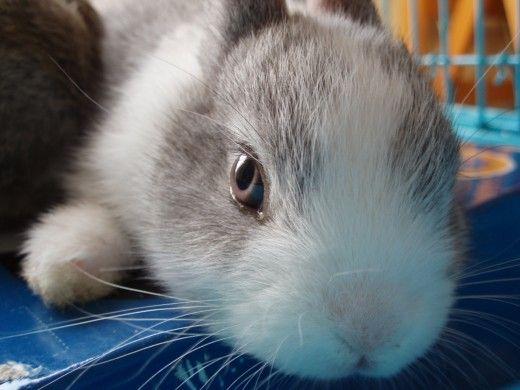 sunete puternice poate speria un iepure până la punctul de a provoca un atac de cord. Iepurele poate intra în stare de șoc și să moară câteva zile mai târziu.
