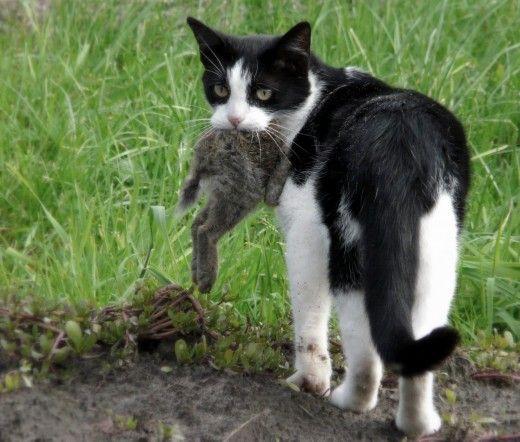 Pisicile, câinii și dihorii sunt animale de vânătoare și pot prinde cu ușurință și de a ucide un iepure intern.