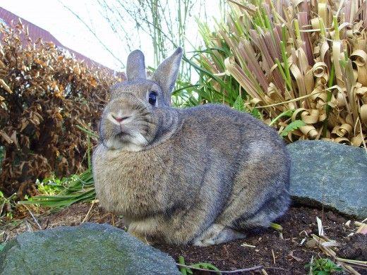 Produsele de grădinărit, inclusiv pesticidele pot fi fatale pentru un iepure intern. Semnele de intoxicație sunt pierderea poftei de mâncare și de descărcare de gestiune de la ochi, gura sau anus.