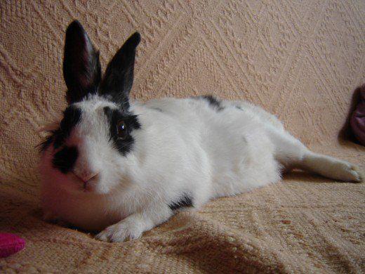 Un iepure poate avea o istorie de probleme de sănătate pe care vânzătorul nu dezvăluie.