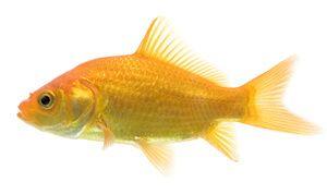 o rasă comună peștișor
