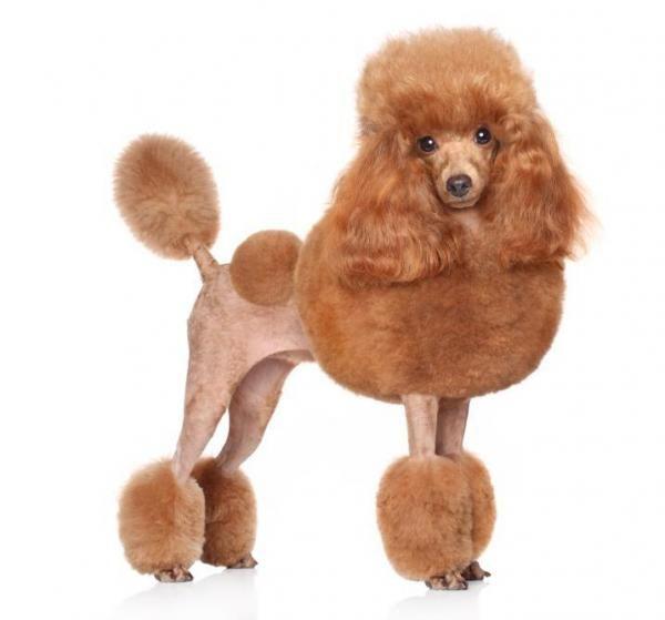 Tăierea părului unui câine - pas cu pas