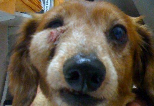Un caine cu puroi intr-o zona faciala din cauza unei tulburări de piele auto.