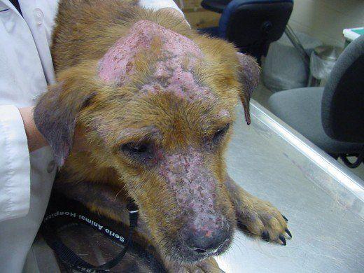 Phemigus foliaceus pe un câine