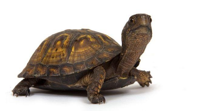 țestoasa cutie