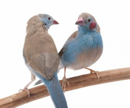 Cordon Bleu finches- © Lee6713 | Dreamstime.com