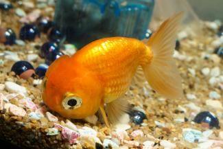 peștișor de aur