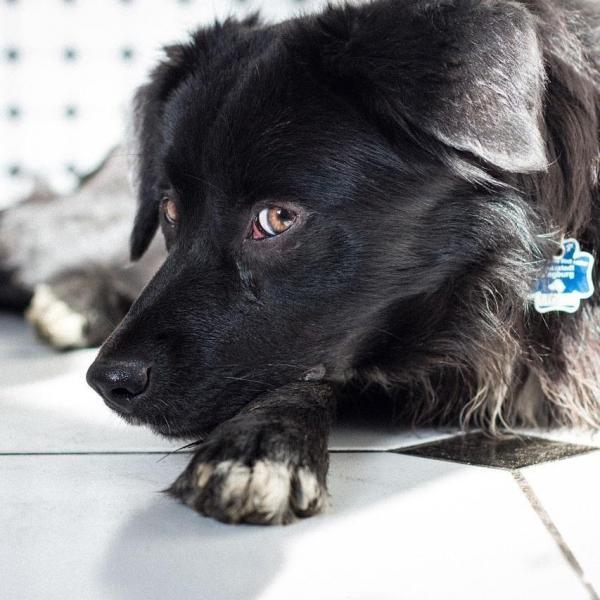 Glaucomul la câini - cauze si tratament
