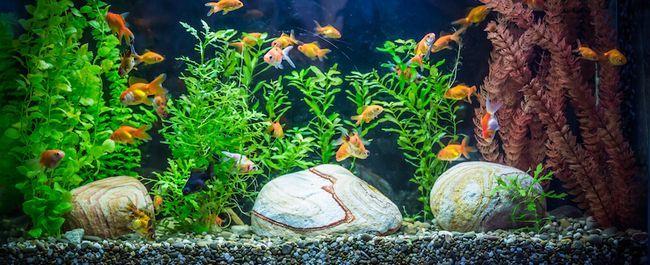acvariu de apă dulce Ttropical cu pesti