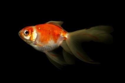 Goldfish înot