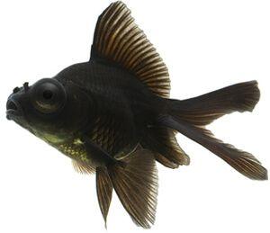 negru-Moor-înot