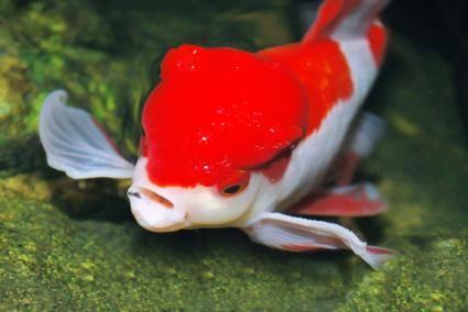 Goldfish Leul Șef