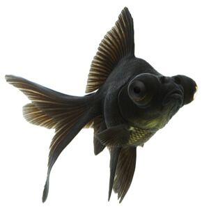 peștișor auriu Moor negru