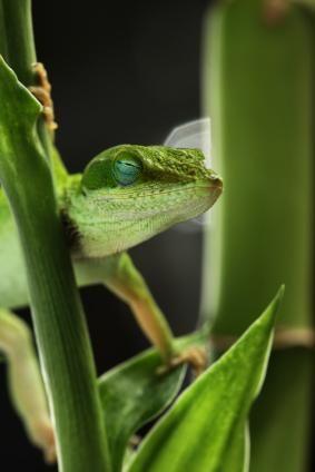 Anoles Green