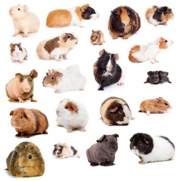 Guinea rase de porci: tipuri de păr și culori