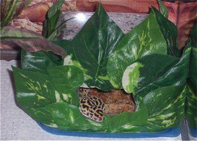 Gecko Chiar și cum ar fi piei umede! Acesta a fost decorat cu frunze false pentru un aspect mai naturalistă.
