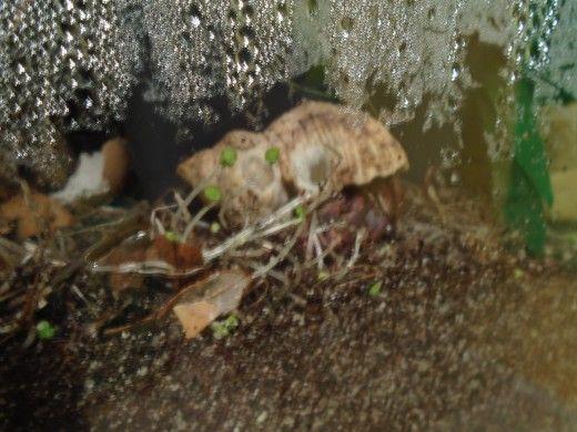 Acest crab pustnic este ronțăind mugurii de chia care creșteau din semințele plantate în rezervor` title=