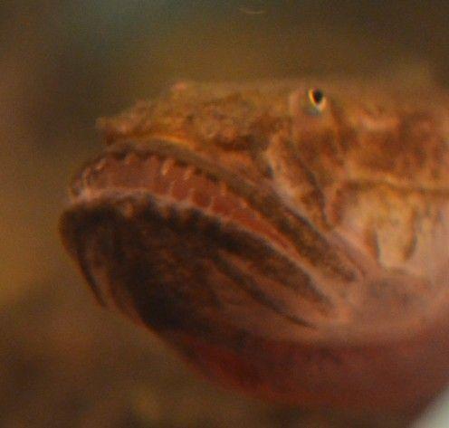 Dinții le face să arate înseamnă și gura lor uriașă îi face să pară morocănos.