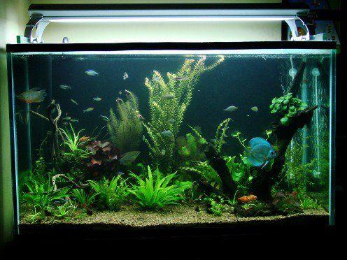 Cum de a alege pește compatibil pentru acvariu comunitate