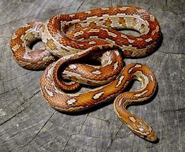 Aztec Corn Snake
