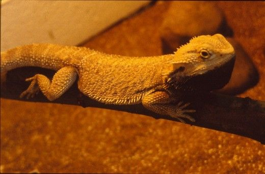 dragon bărbos Adult
