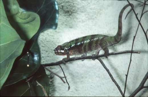 cameleon Panther