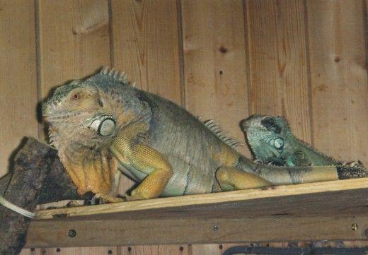 Green Iguanele